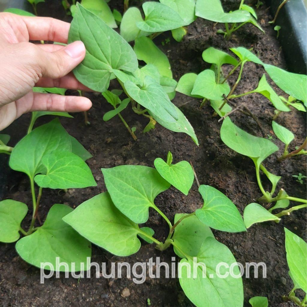 Đất trồng rau
