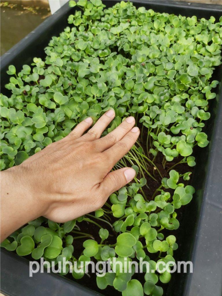cách trồng rau mầm