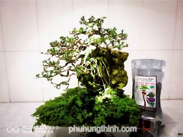 cây bonsai sam hương
