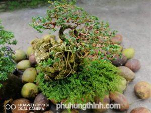 cây sam hương