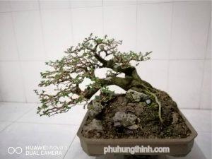 cây sam hương bonsai