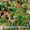 sam hương bonsai