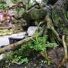 sam hương bonsai mini