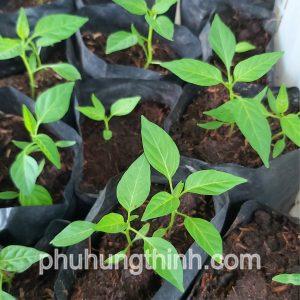 trồng ớt