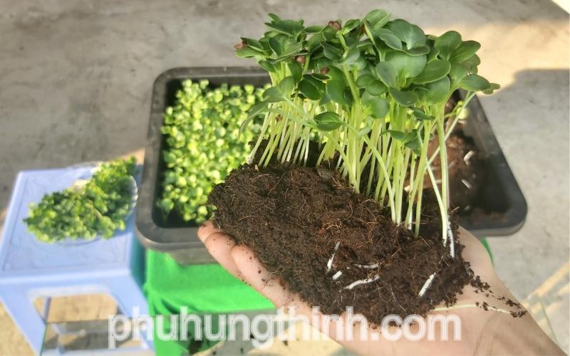 trồng rau mầm