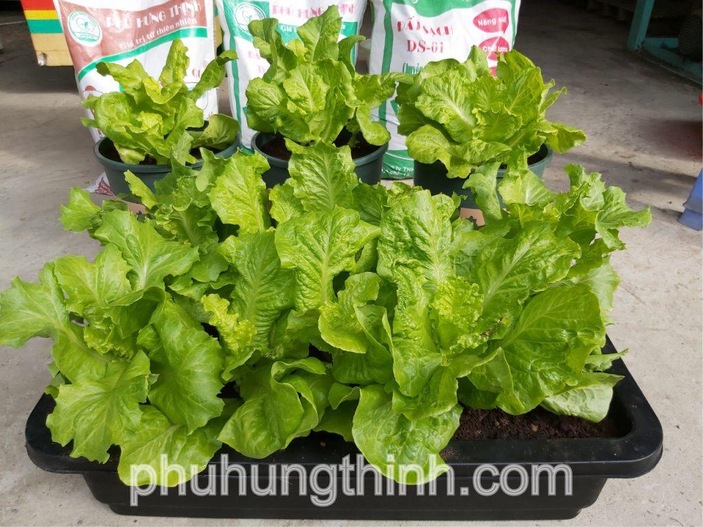 trồng xà lách