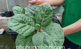 cách trồng cải rổ